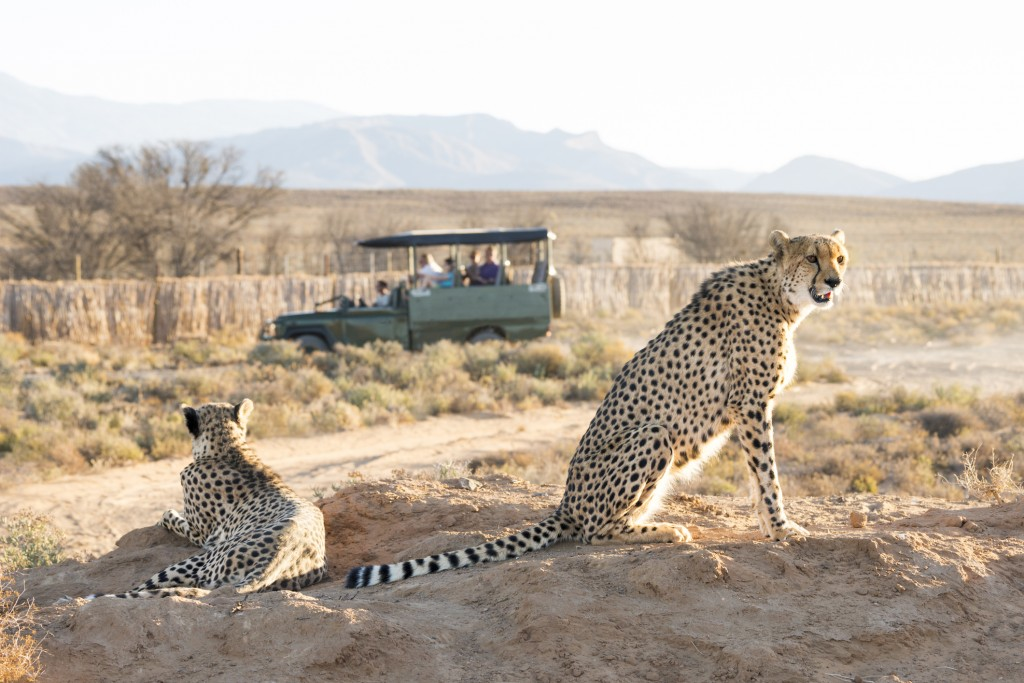 Cheetahs spotted on a game drive
