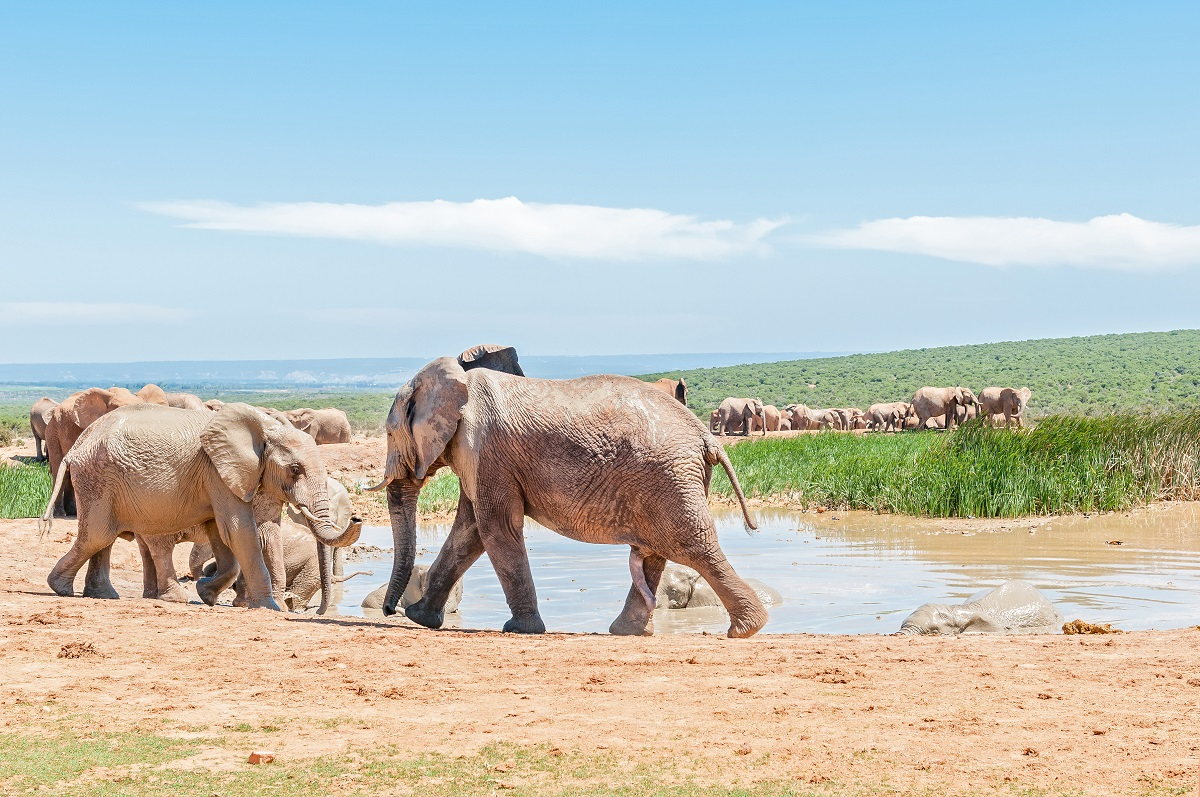 Large group of mud colored elephants