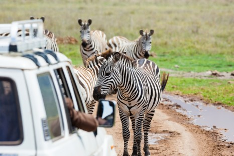 Zebras on the road.shallow doff
