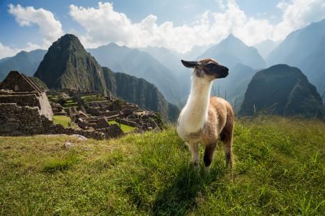 Llama overlooking the ancient city of Machu Picchu, Peru