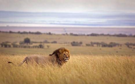 Lion in savannah