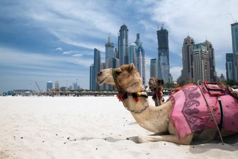thumbnail_UAE_Dubai_Camel_shutterstock_81080380