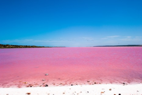 Scenic panoramic view of colorful Pink Salt Lake in Western Australia, caused by algae, with flock of birds flying over water, blue sky, horizon, copy space.