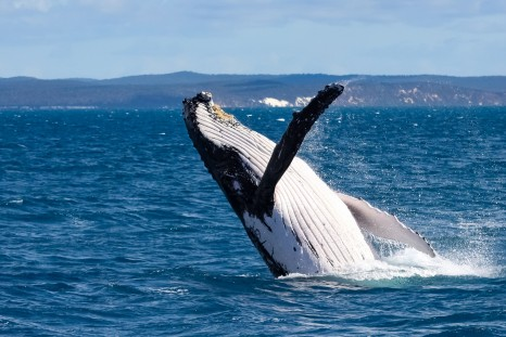 Whale breaching off the coast of Hervey Bay