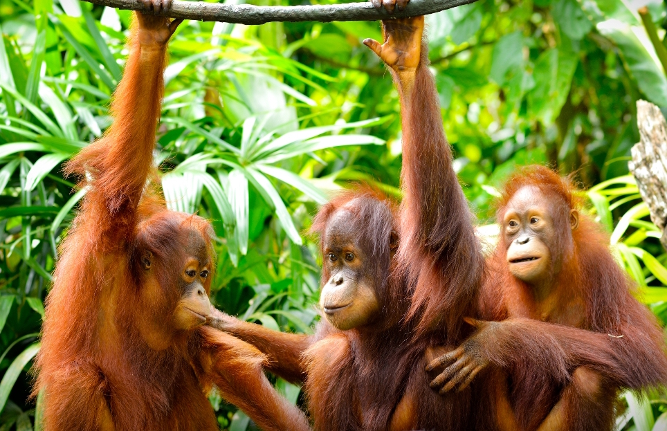 http://www.dreamstime.com/stock-image-three-orangutans-close-up-selective-focus-image42102951