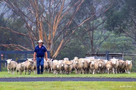 aussie-farm-food-wine-trail-day-tour-tobruk-cowboy-jackaroo-sheep-cattle-round-up-HR
