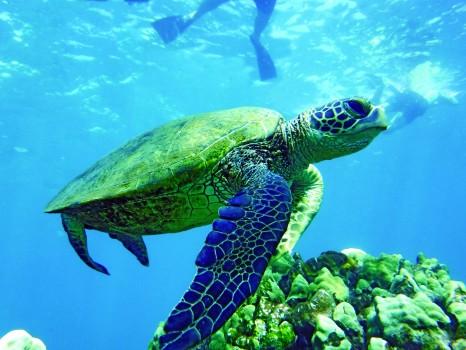 UnCruise_ Hawaii _ turtle-snorkler-