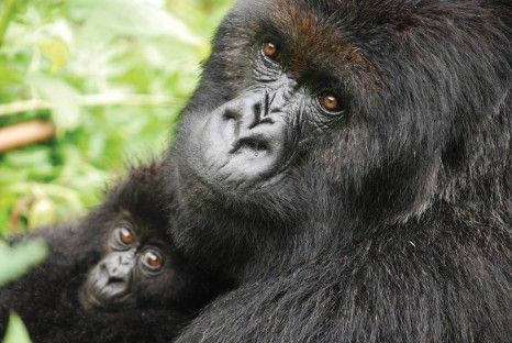 Rwanda gorillas_Intrepid Travel
