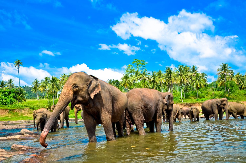 SriLanka_ElephantGroupInRiver_shutterstock_128294927sml