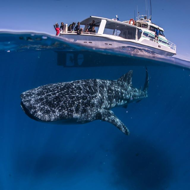Credit: Three Islands Whale Shark Dive