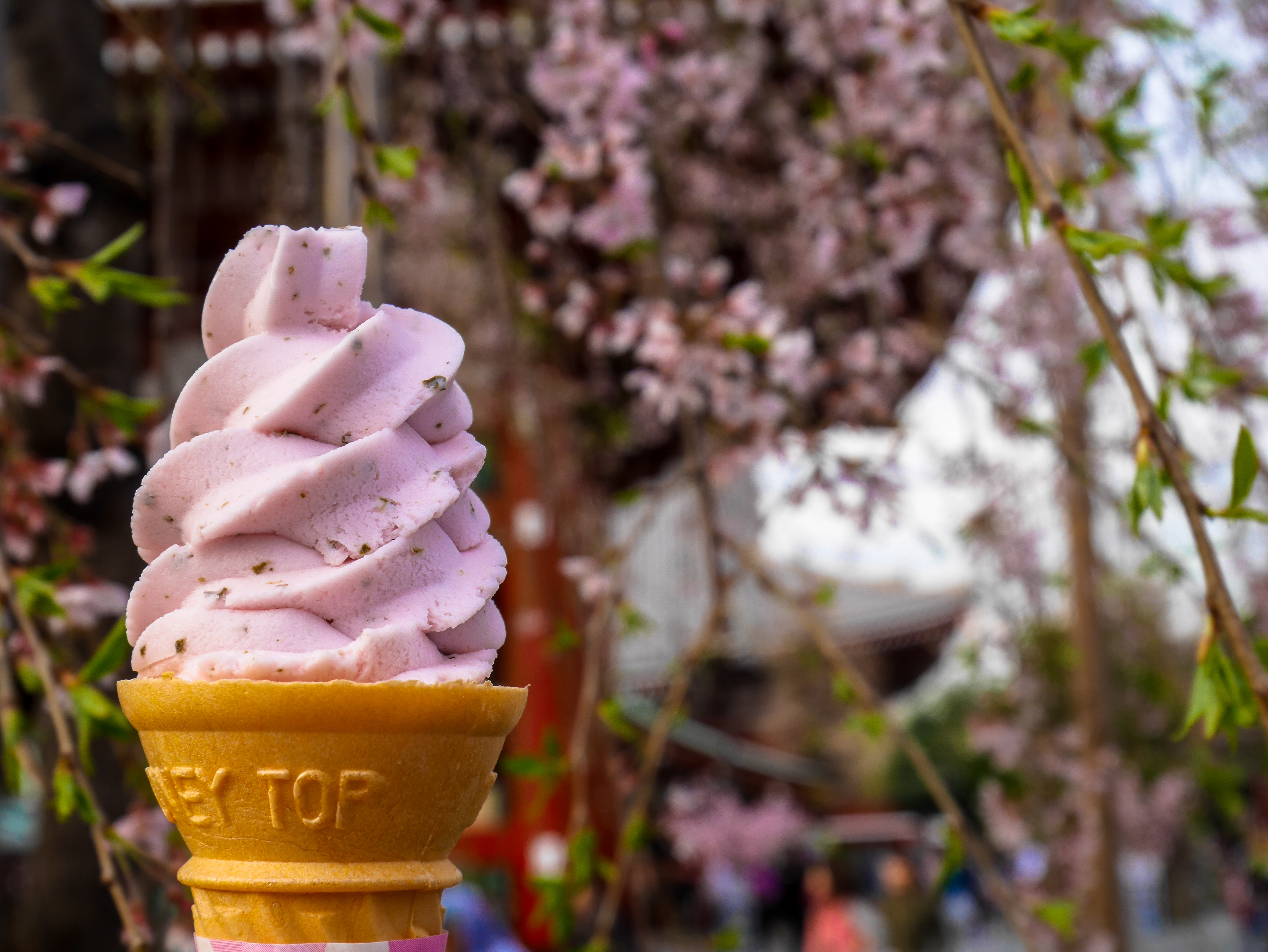 Enjoying pink sakura ice cream soft serve cone under the sakura tree