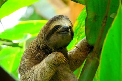 shutterstock_sloth_125014706sml