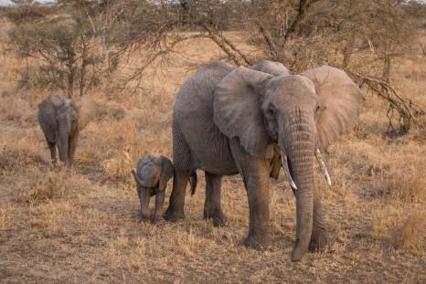 Intrepid Travel-Tanzania_Serengeti_elephant