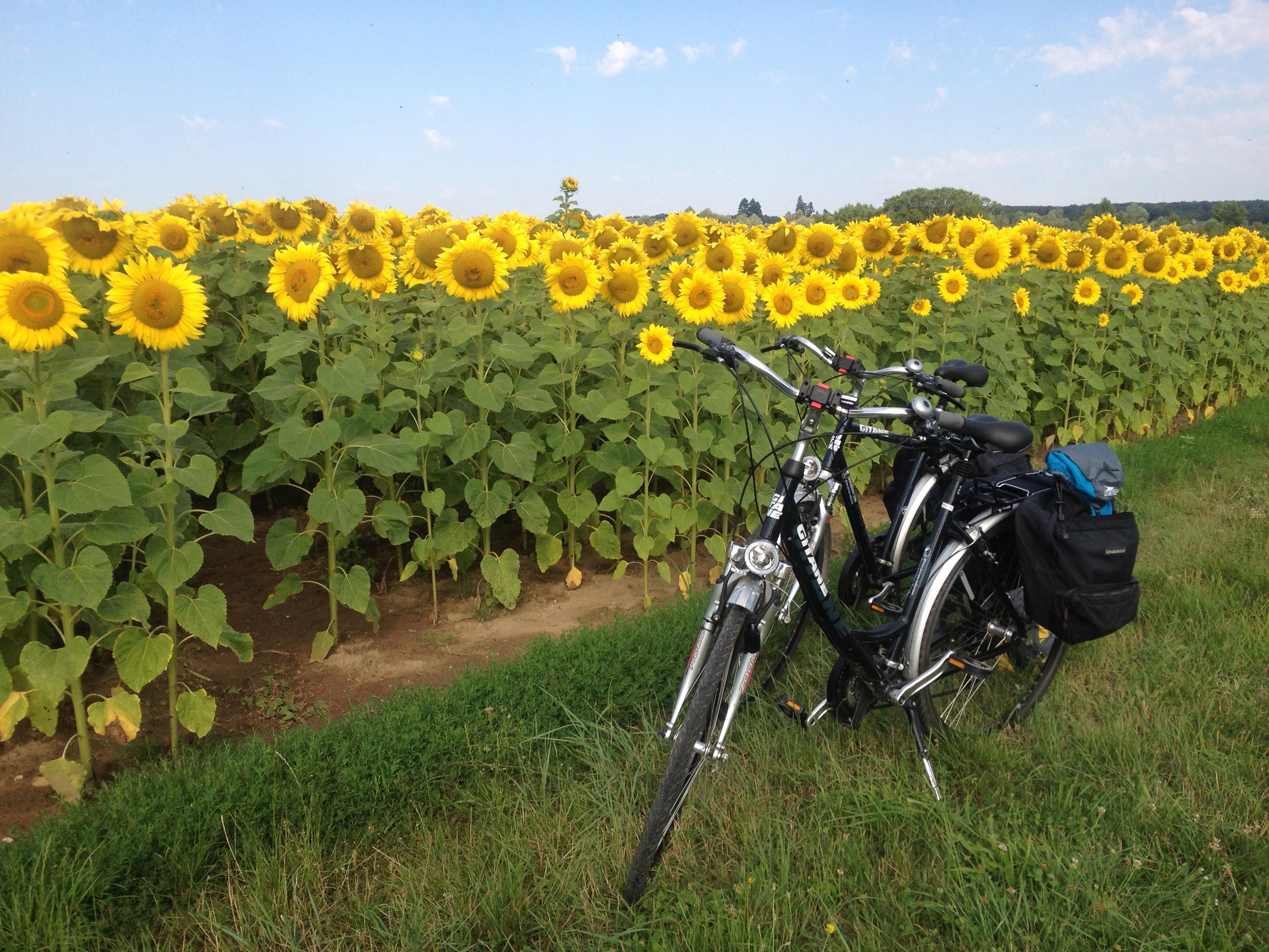 Loire_Valley_sunflowers-original (1)