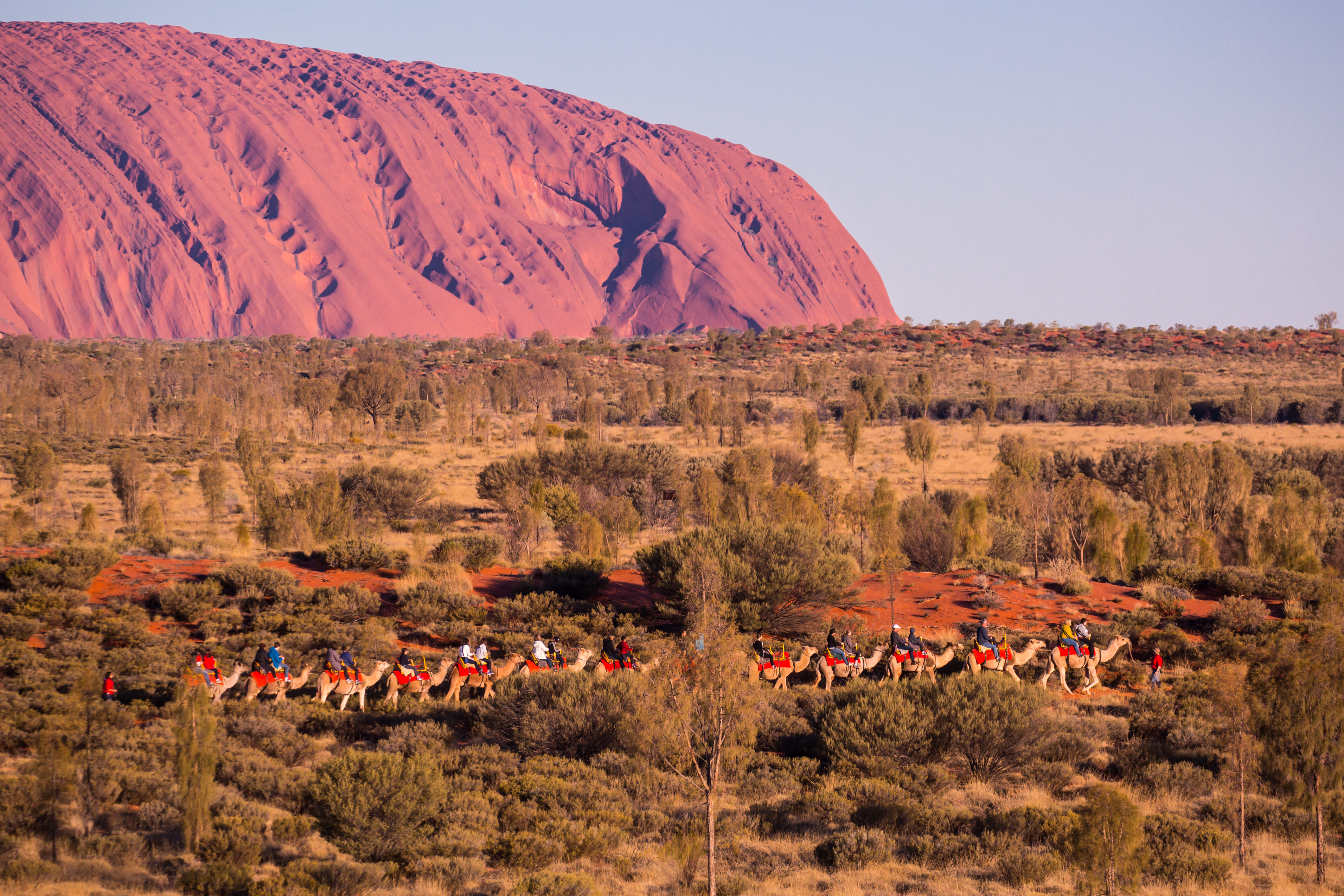 Uluru at Sunset with Camels
