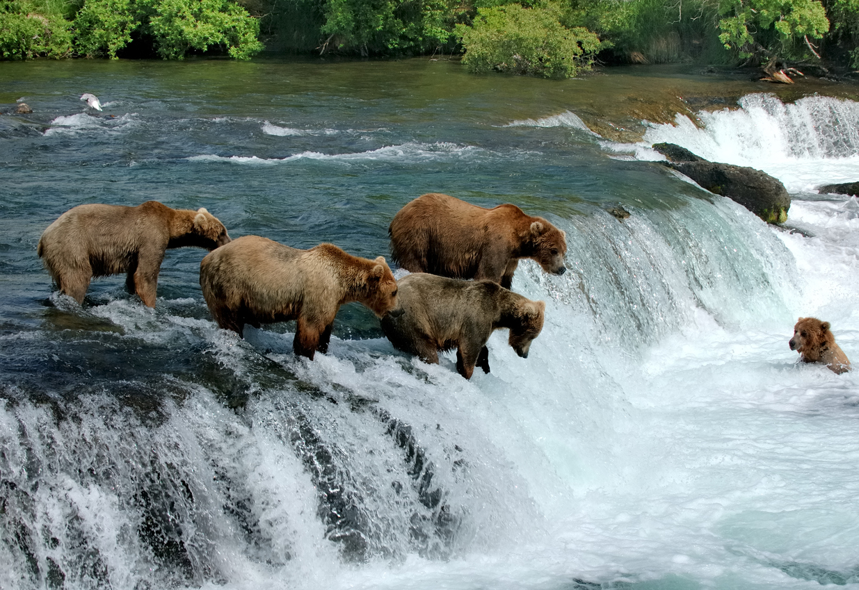 Group of brown bears fishing for salmon by a waterfall
