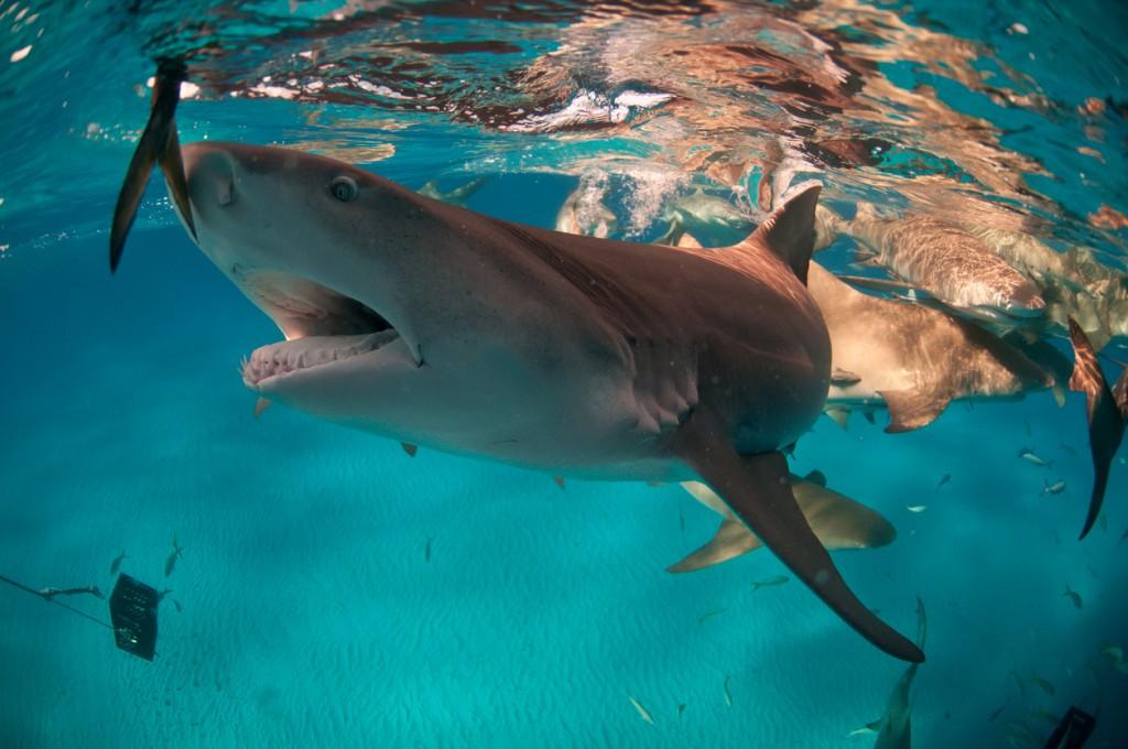 Feeding of lemon sharks in shallow water, Bahamas