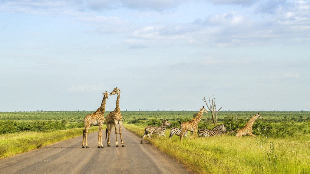 group of giraffes and zebras crossing the road in kruger park, South Africa