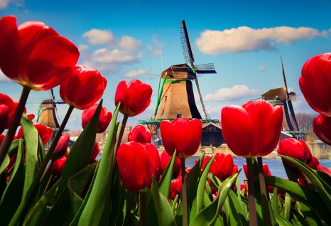 The famous Dutch windmills. View through red tulips on the Netherlands canals.