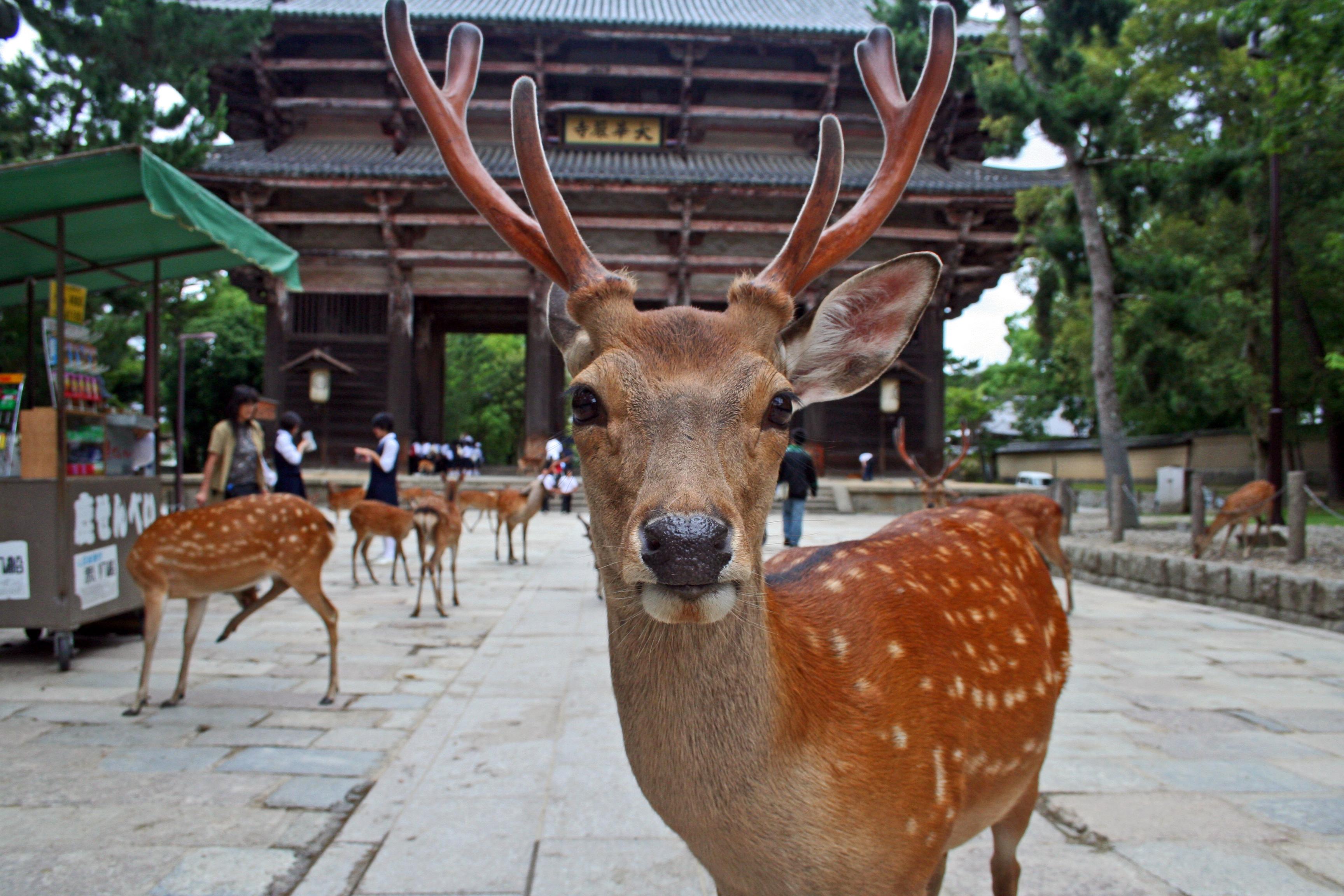 Japan: Sika Deer at Nara Park