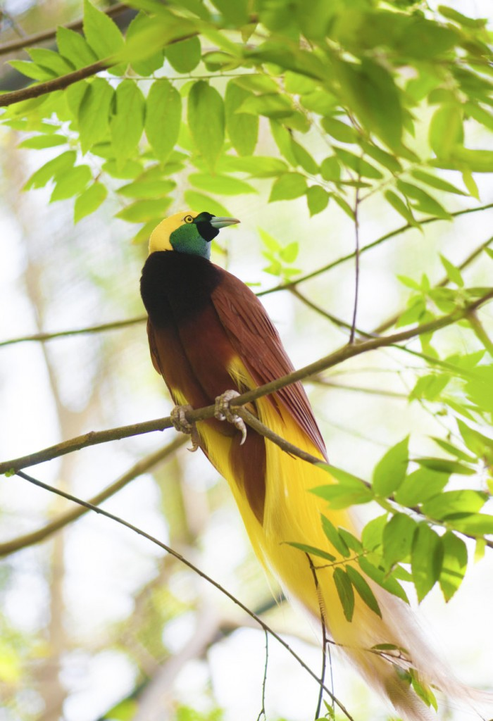 4. Red-Bird-of-Paradise