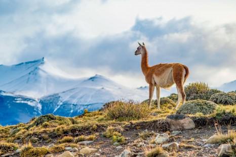 CC_Patagonia_Torres_del_Paine_Guanaco_SMALL