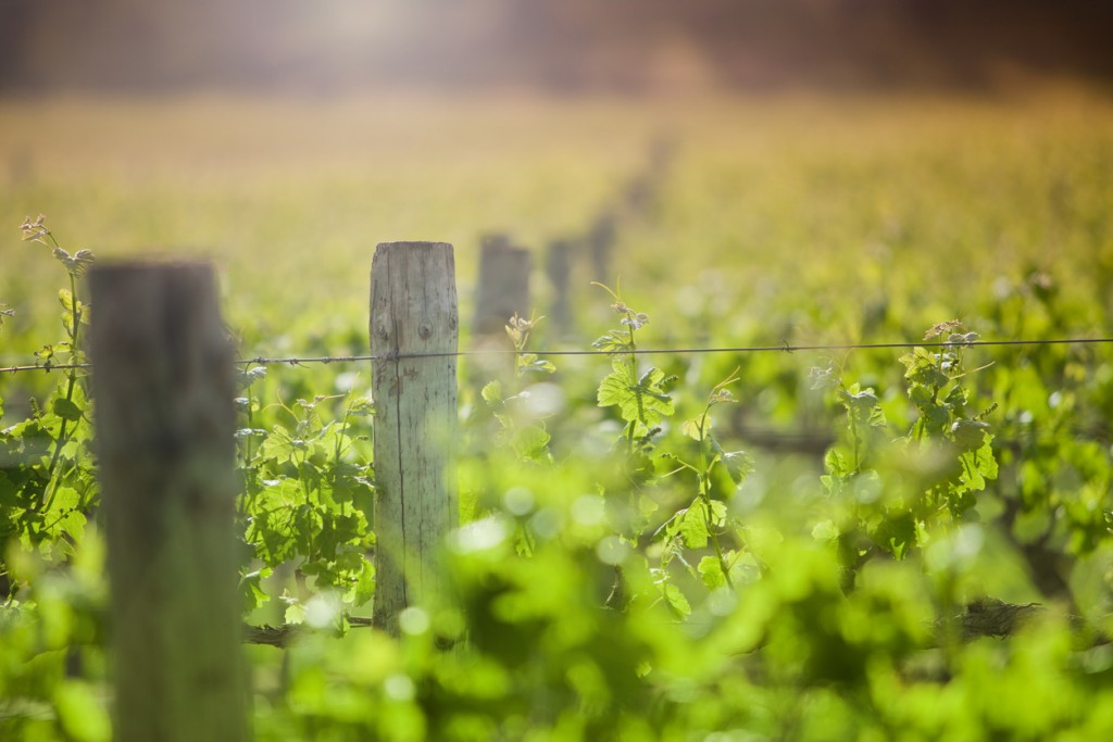 Field of green vines and wooden posts under the sun