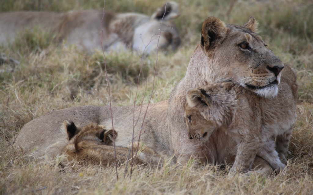 GT lioness and cubs