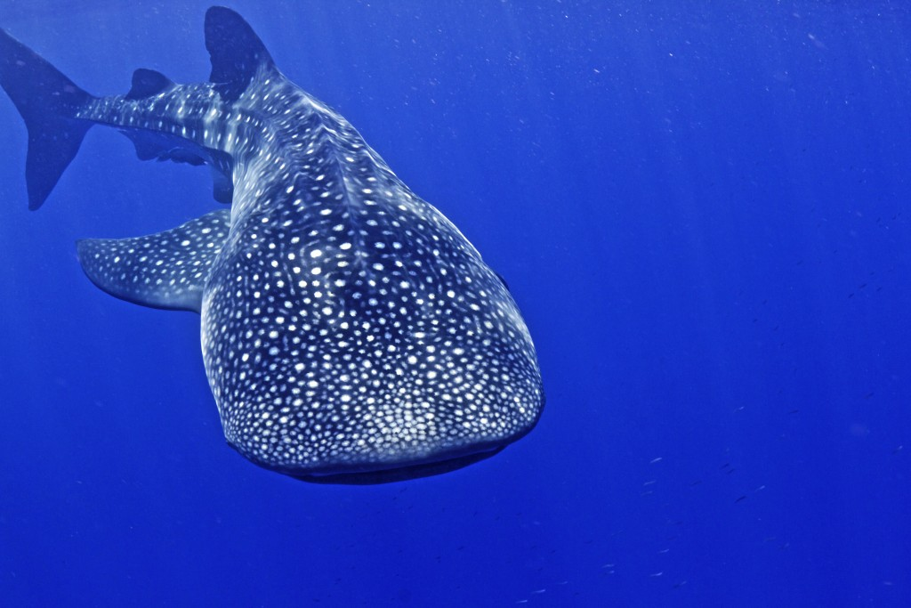 PAGE 12 - SWIMMING WITH MEXICOS WHALE SHARKS