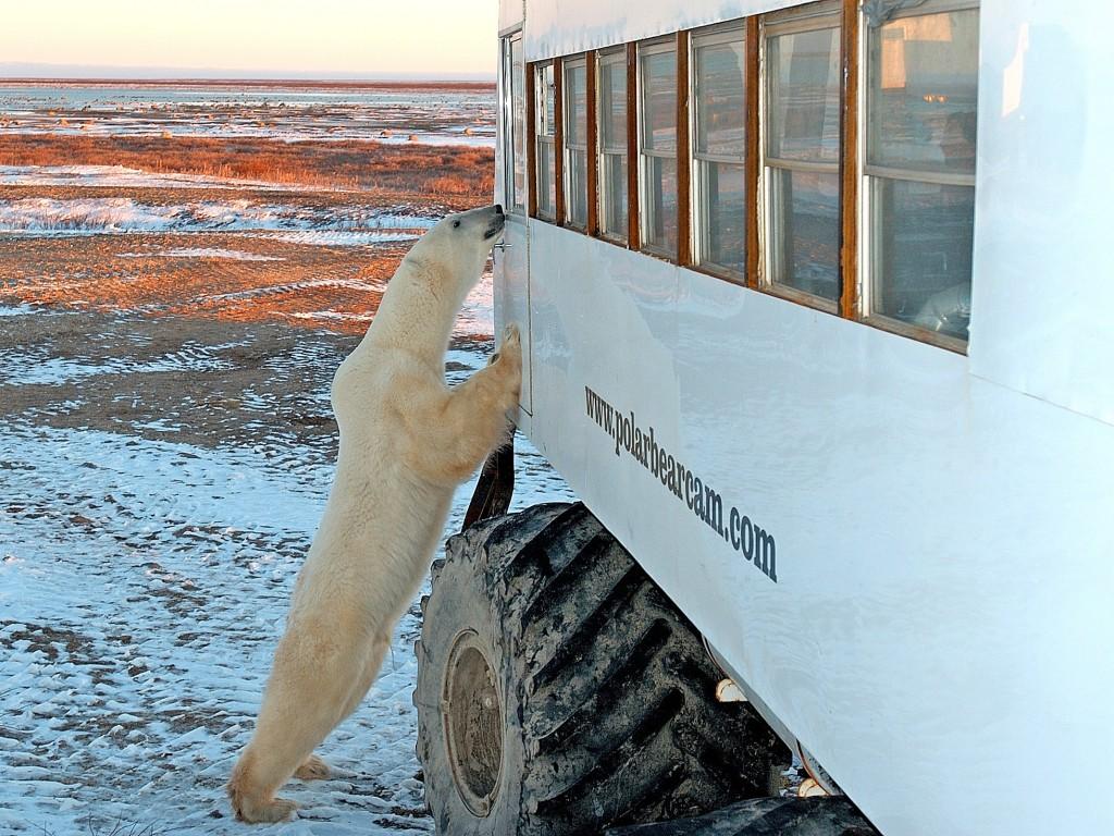 Polar Bear & Buggy (credit H.G. Pfaff)