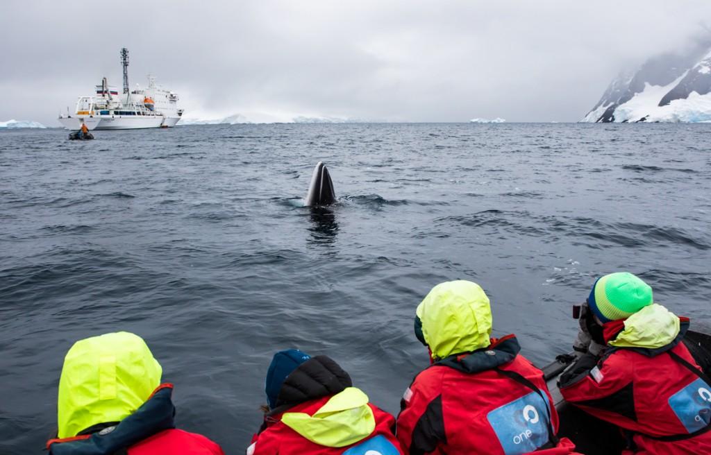 Steve Rose_ Antarctic minke whale1
