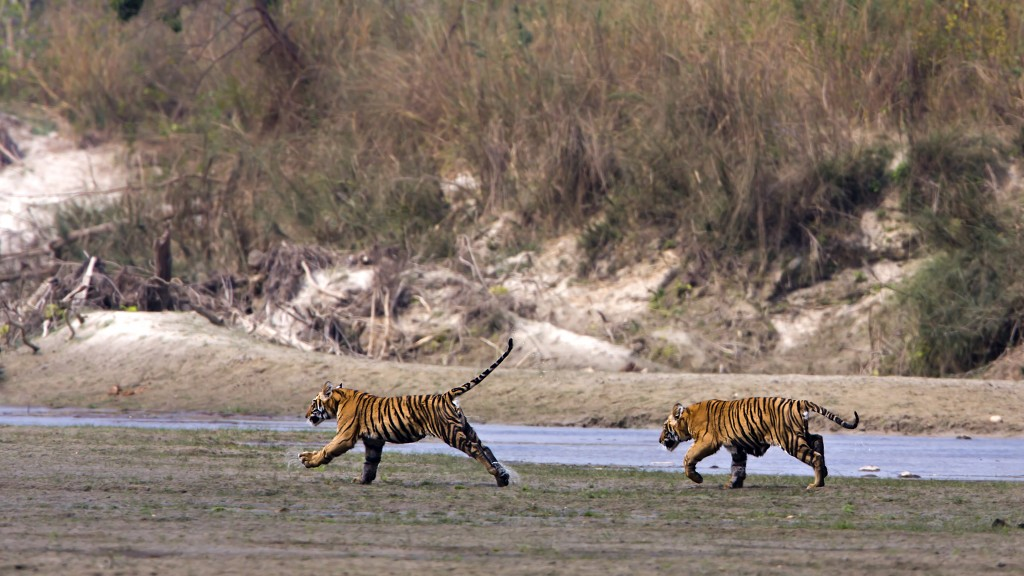 A tiger monitoring study has estimated there are 56 wild tigers in National Park, Teraï, Nepal.