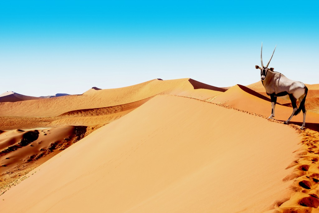 Oryx is wandering the summit of the dune of Sossuvlei in Namibia