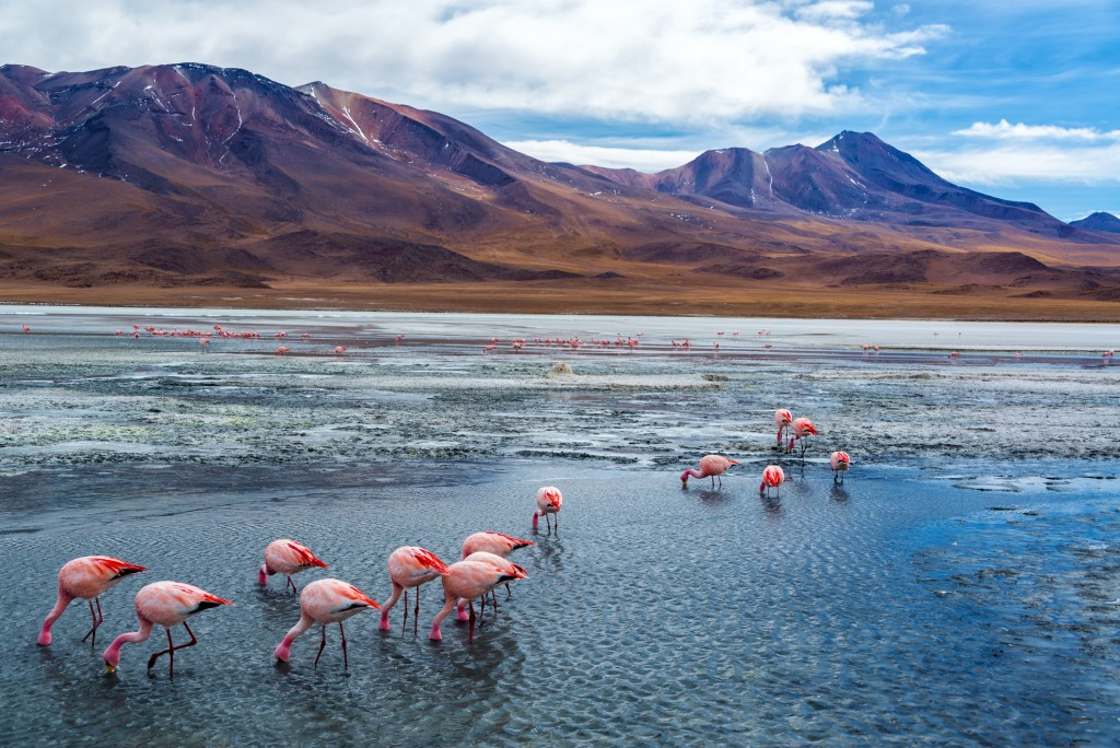 Pink flamingoes in Lake Hedionda in the high plains of Bolivia with Andean mountains in the background