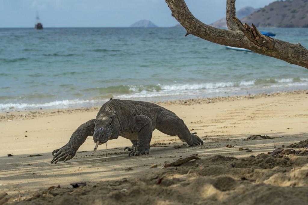 Wildlife shot of a Komodo Dragon (Varanus komodoensis)