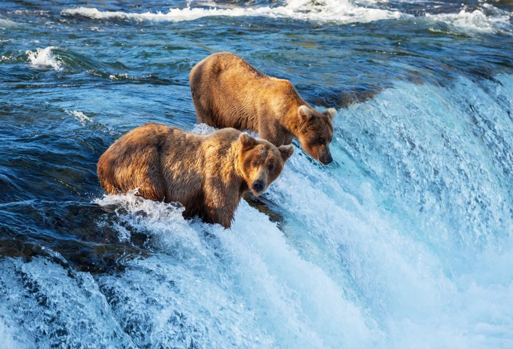 alaska-bears-