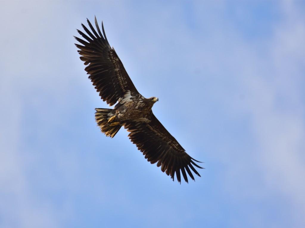 Flying white-tailed eagle (Haliaeetus albicilla)