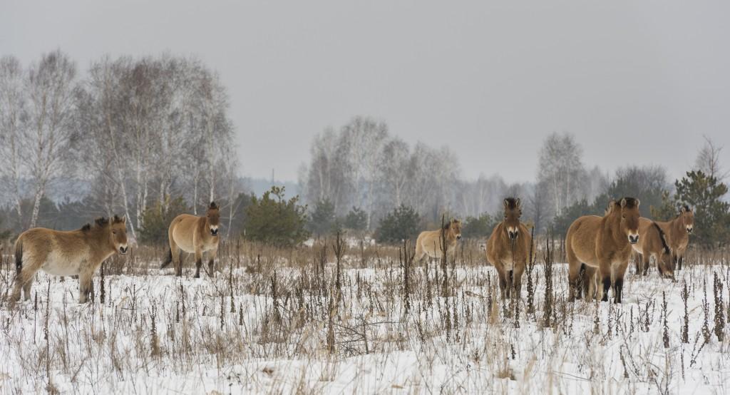 Przewalski horses in Chernobyl, Ukraine.
