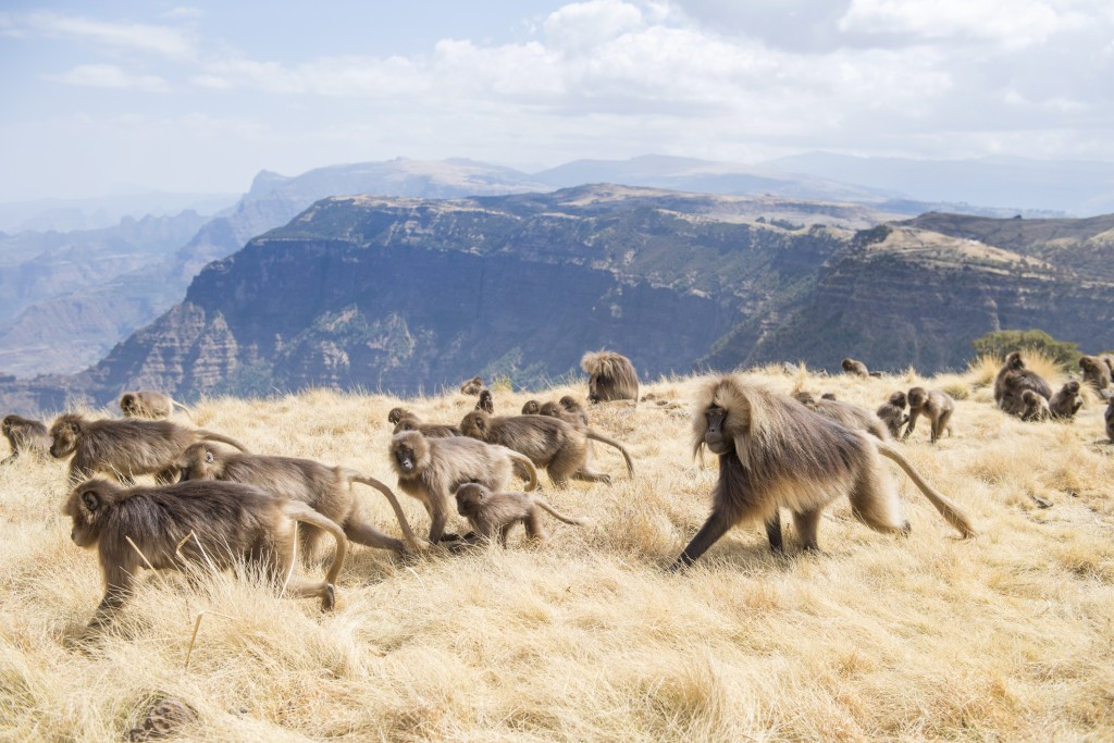 Baboons Semien Mountains National Park