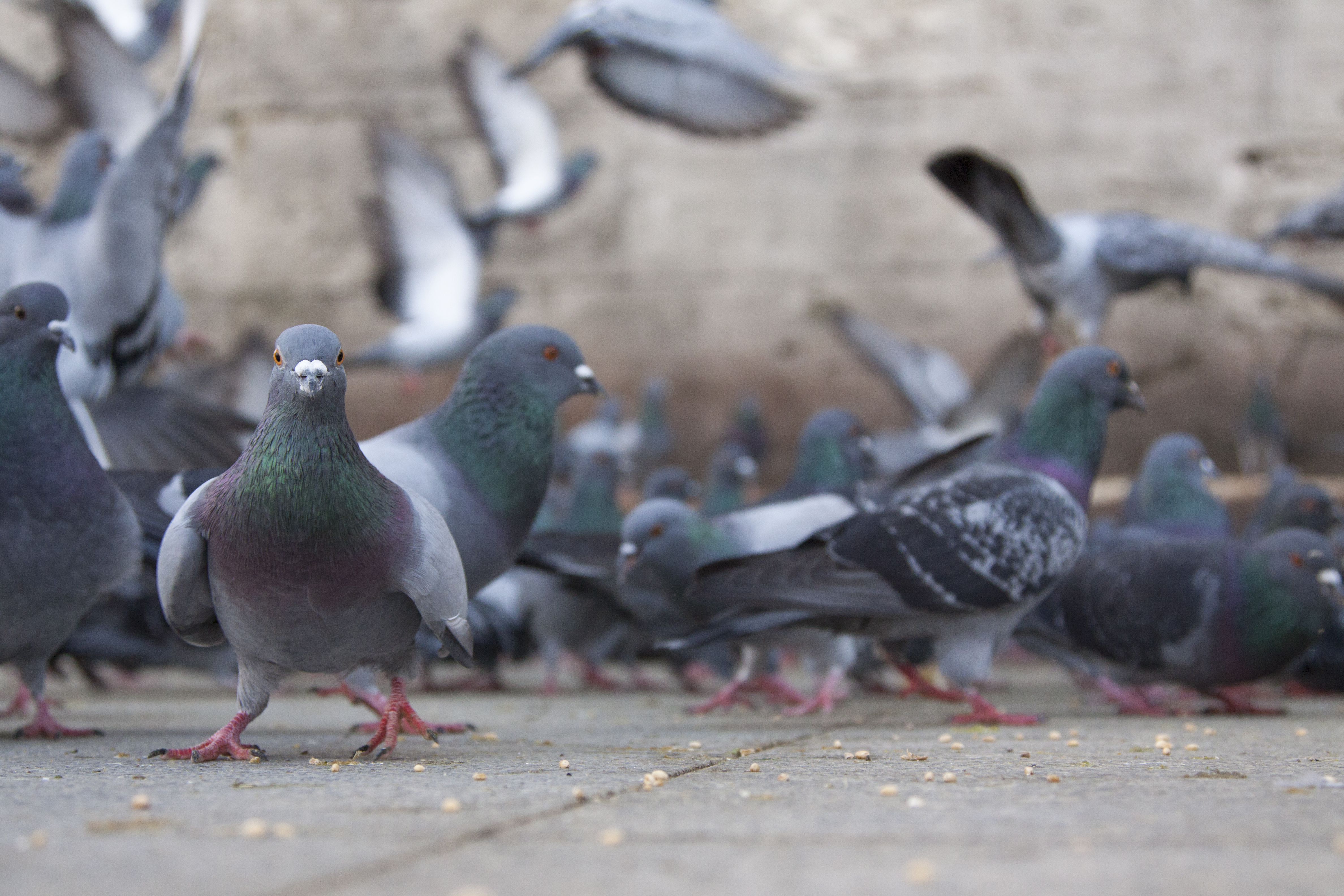 Tourists are hiring professional 'pigeon spookers' in Thailand